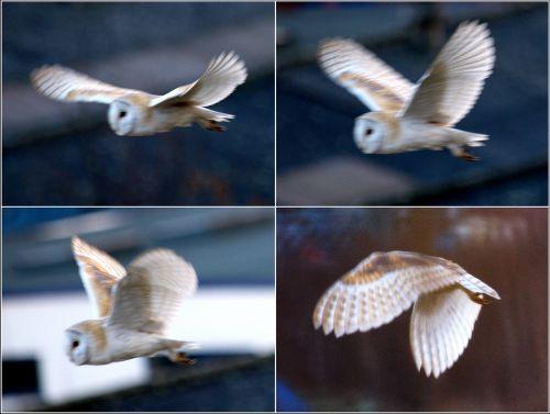 Barn Owl © Roger Buttefield