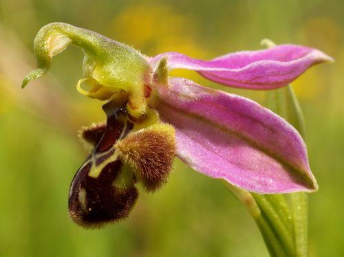 Ophrys apifera © Roger Butterfield
