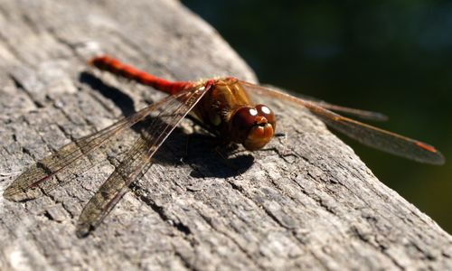 Sympetrum striolatum © Roger Butterfield