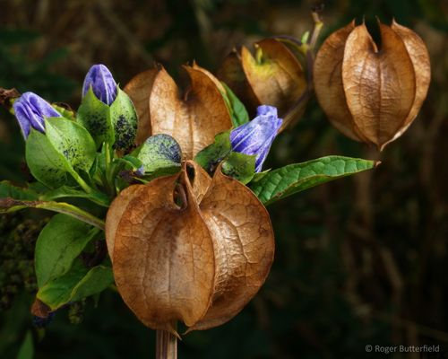 Apple-of-Peru (Nicandra physalodes) © Roger Butterfield