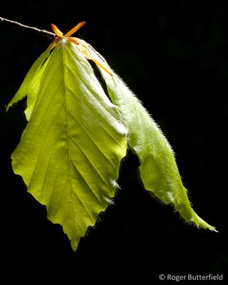 Freshly opened beech leaves © Roger Butterfield
