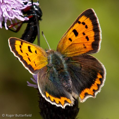 Small Copper © Roger Butterfield