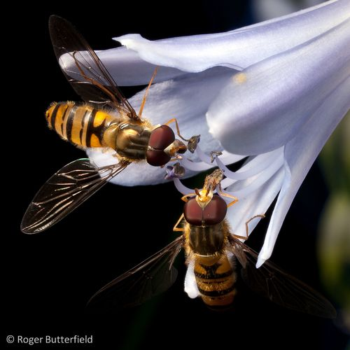 Marmalade Hoverflies feeding on an Agapanthus flower.