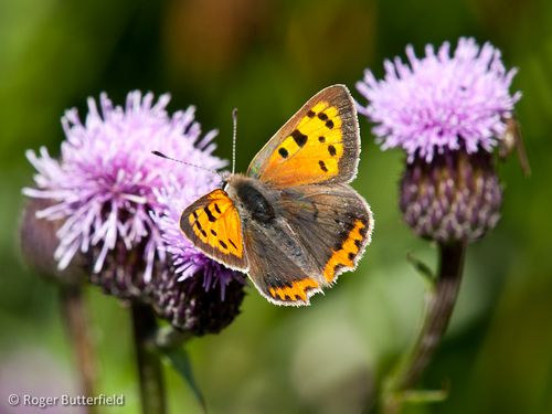 Small Copper (Lycaena phlaeas) © Roger Butterfield