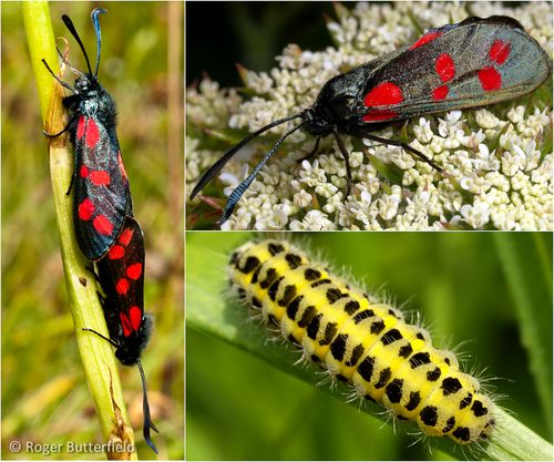 Photographs of Six-spot Burnet moths by Roger Butterfield