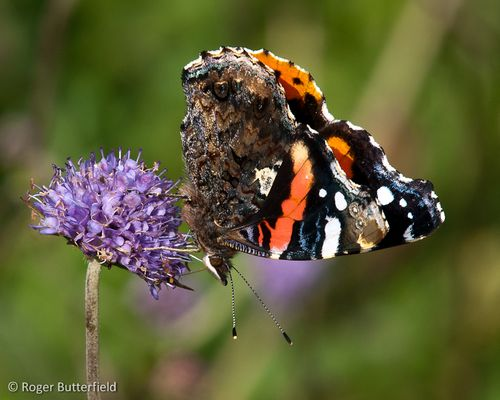 Red Admiral (Vanessa atalanta) © Roger Butterfield