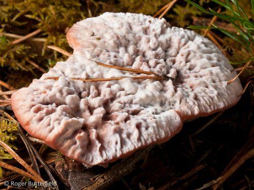 Hydnellum sp. © Roger Butterfield