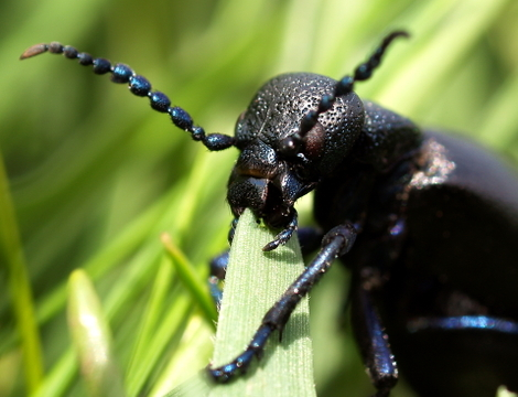Oil Beetle © Roger Butterfield