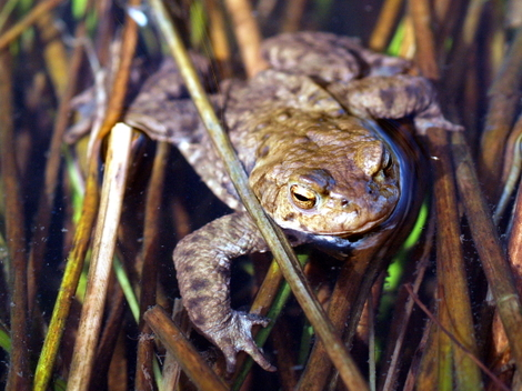 An Amorous Toad