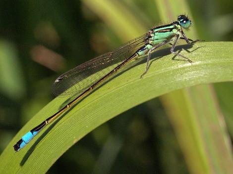Blue-tailed Damselfly © Roger Butterfield