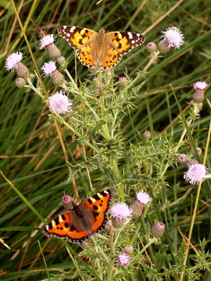 Creeping Thistle - Butterfly Magnet © Roger Butterfield