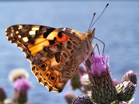 Painted Lady on Creeping Thistle at Redmires Reservoir © Roger Butterfield
