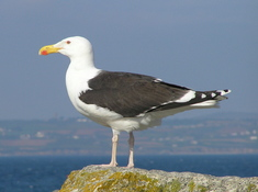 Great_blackbacked_gull