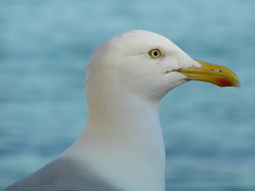 Herring_gull_cropped