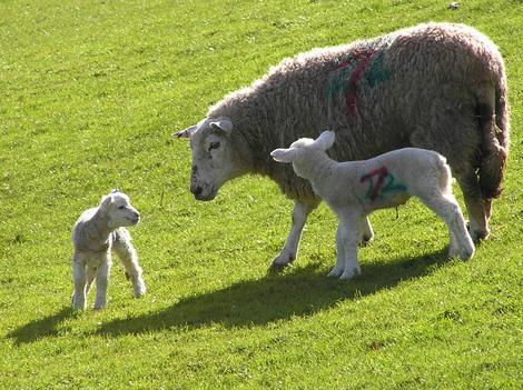 Lambs_1