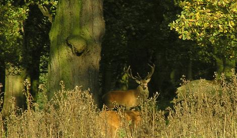 Red_deer_stag