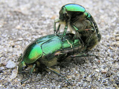 Mating Rose Chafers