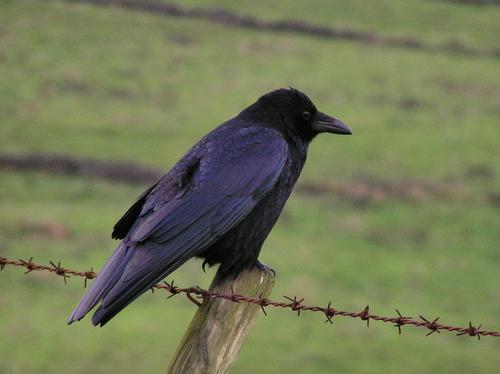 http://pinguicula.typepad.com/photos/dec05/carrion_crow.jpg