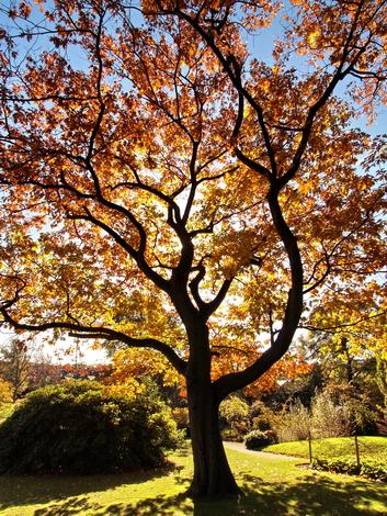 Red Oak © Roger Butterfield