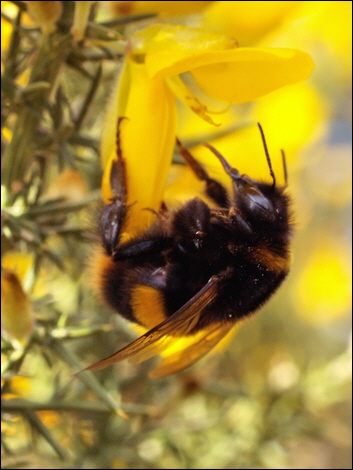 Bumblebee © Roger Butterfield