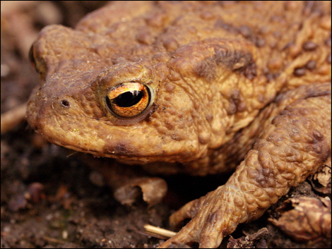 Common toad (Bufo bufo) © Roger Butterfield