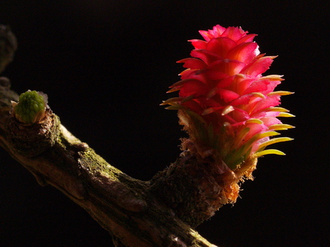 Larch flower © Roger Butterfield