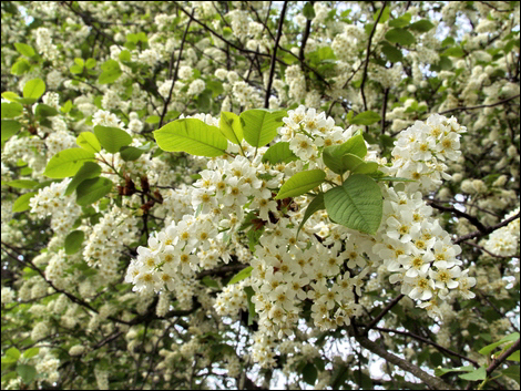 Bird Cherry, Prunus padus © Roger Butterfield
