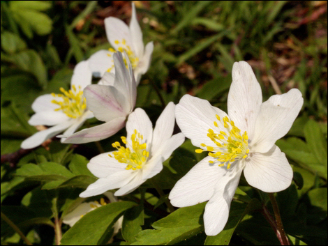 Wood Anemones © Roger Butterfield