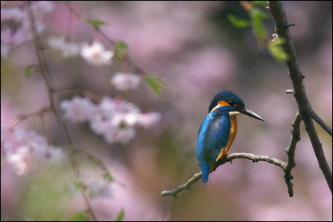 Kingfisher with Cherry Blossom © yamasan