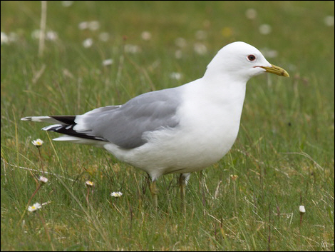 Common (Mew) Gull © Roger Butterfield