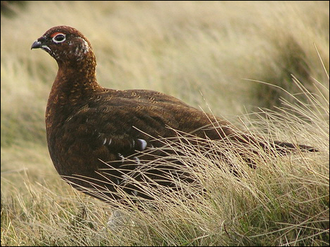 Red Grouse (Willow Ptarmigan) © Roger Butterfield