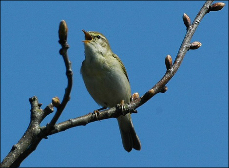 Willow warbler doing his thing © Jo Jones