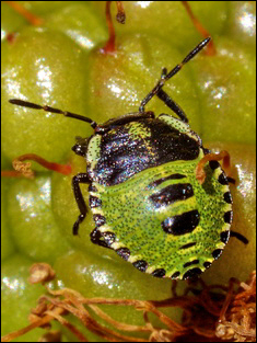 Shield Bug Nymph © Roger Butterfield