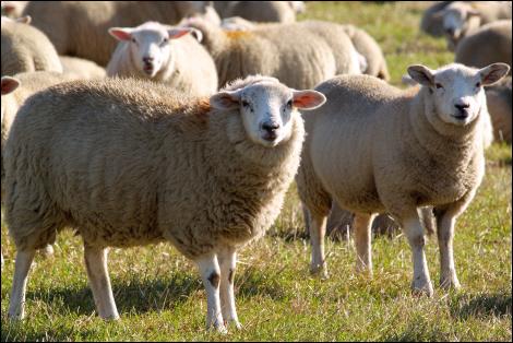 Sheep near Agden Side © Roger Butterfield