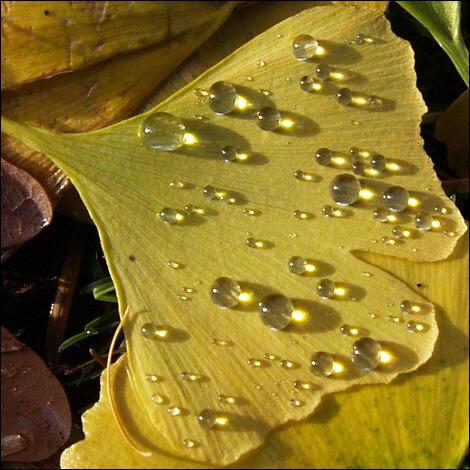 Water droplets on fallen ginkgo leaves © Roger Butterfield