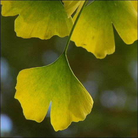 Autumnal ginkgo leaves in Sheffield Botanical Gardens © Roger Butterfield